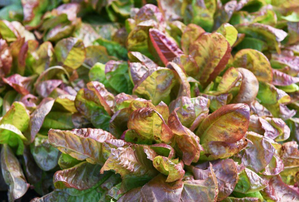8 goda grönsaker du kan odla på balkongen