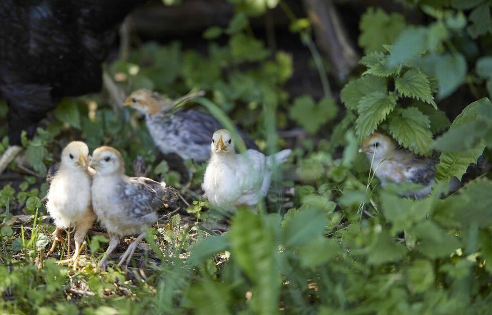 Skaffa höns i trädgården – 6 saker att tänka på