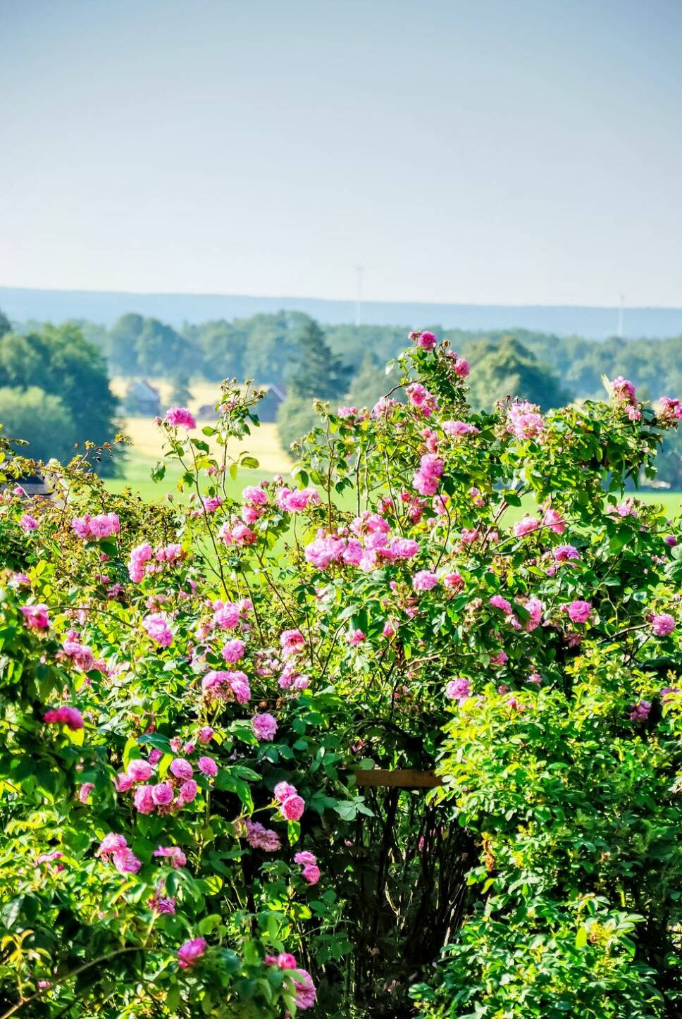 Den här trädgården är en doftande dröm av rosor