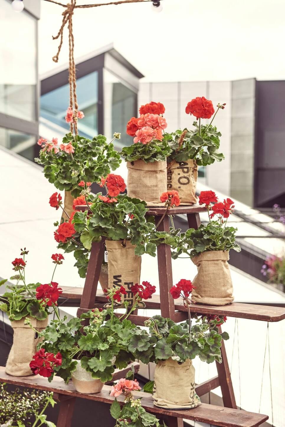 Lys upp din balkong med pelargoner – 8 inspirerande bilder