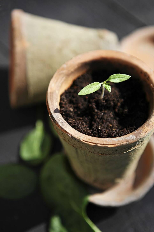 Visste du att du kan plantera en skiva tomat? Så här gör du