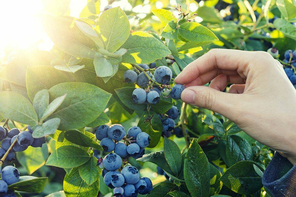 Så lyckas du med blåbärsbusken i din trädgård