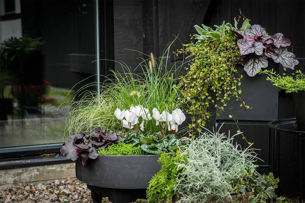 Så lyckas du med sensommarens vackraste blomstergrupper i kruka