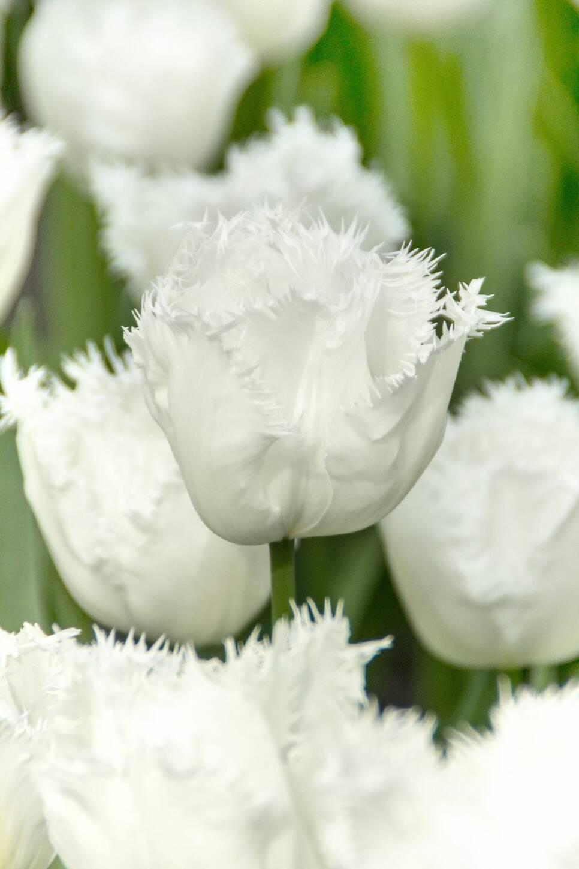 8 nya tulpanlökar att plantera nu – för att få en blomstrande trädgård i vår