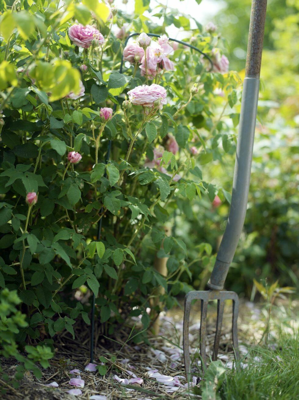 Plantera rosor på hösten – njut av en blomstrande rosenträdgård till våren