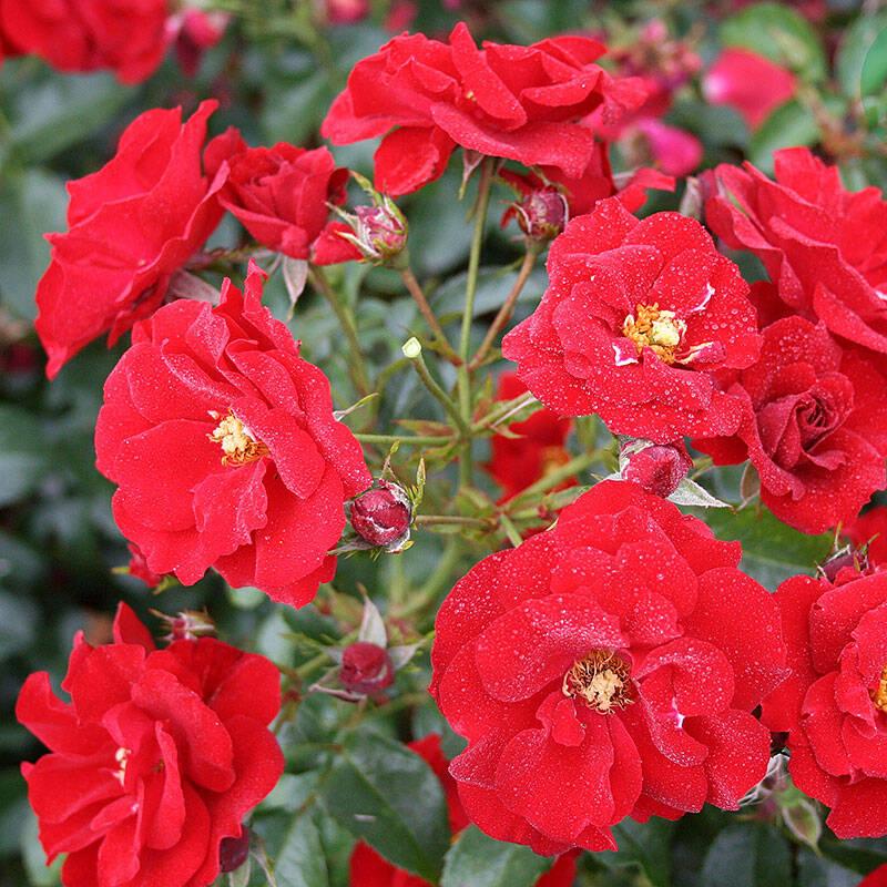 Här är rosorna som lyser upp din trädgård även på hösten