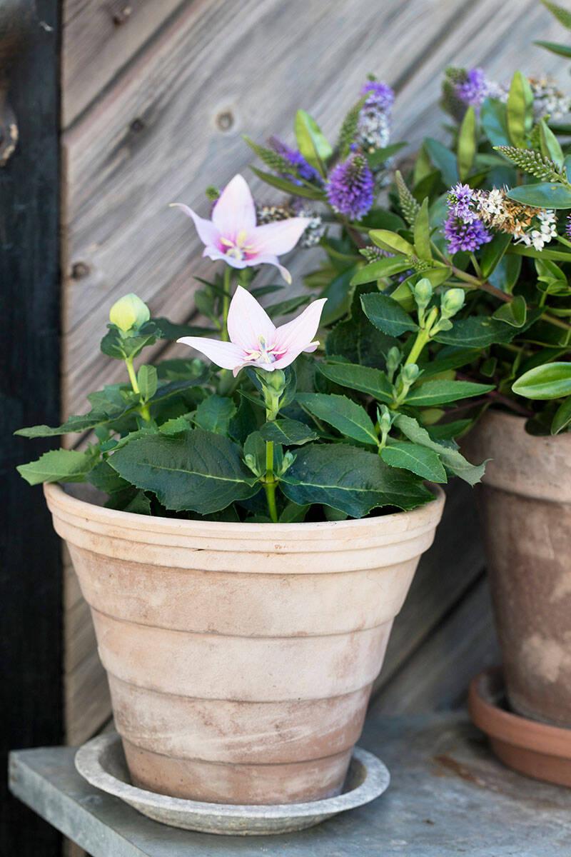 Här är växterna som blommar länge –och så lyckas du