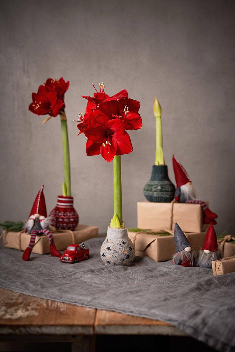 4 inspirerande sätt att inreda med amaryllis – och så sköter du den