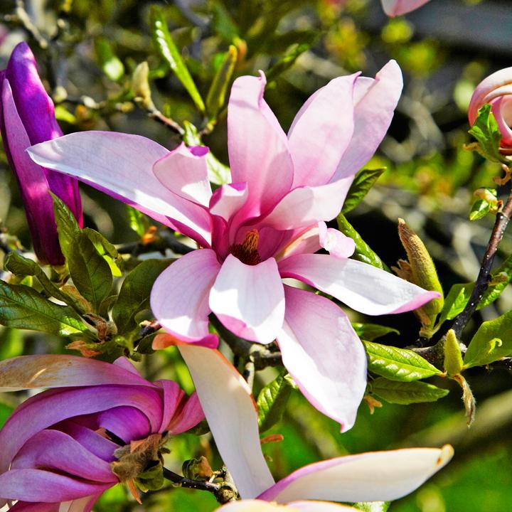 Så får du magnolian att trivas