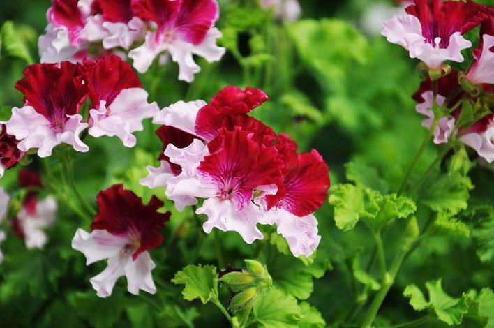 Pelargoner från vitt till lila