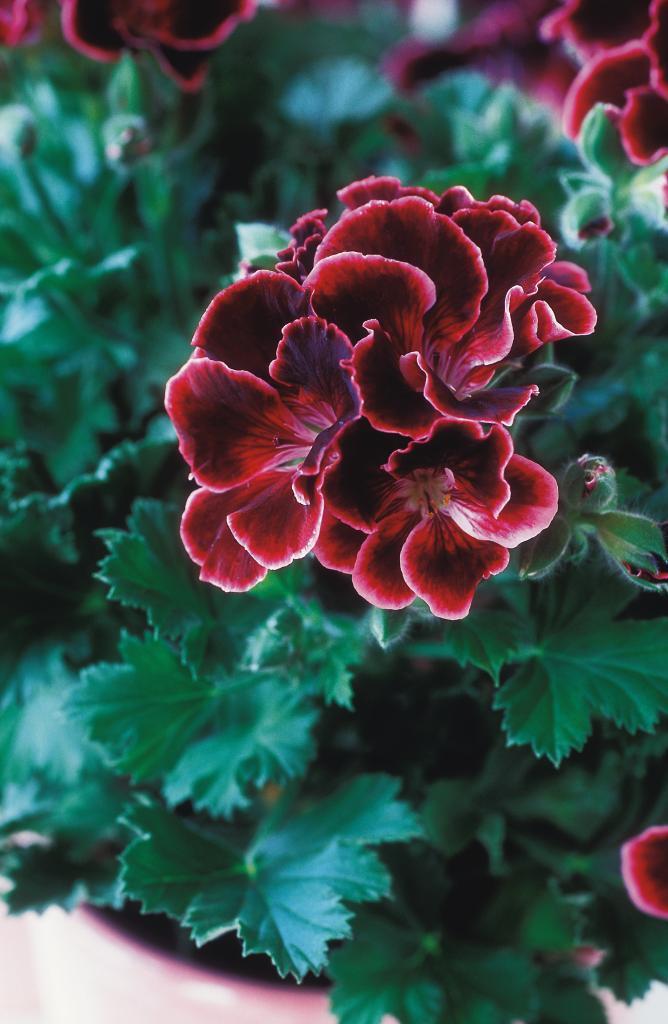Pelargoner – här är de 8 bästa skötselråden