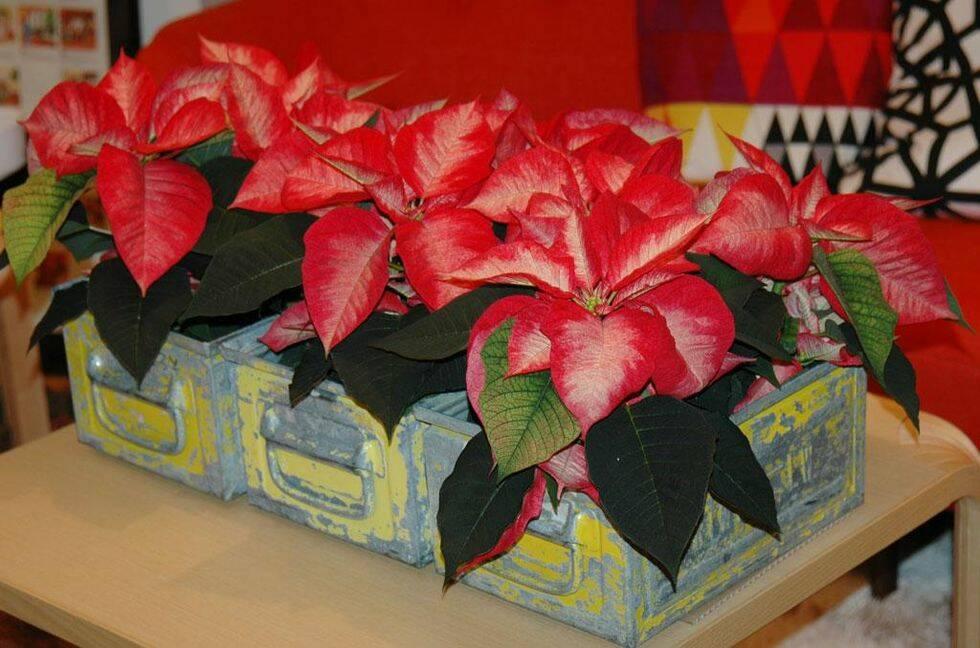 Tips för finaste julblommorna