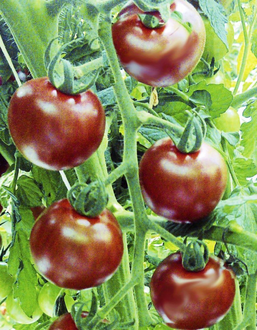 Odla tomat hemma – här är 7 läckra nyheter