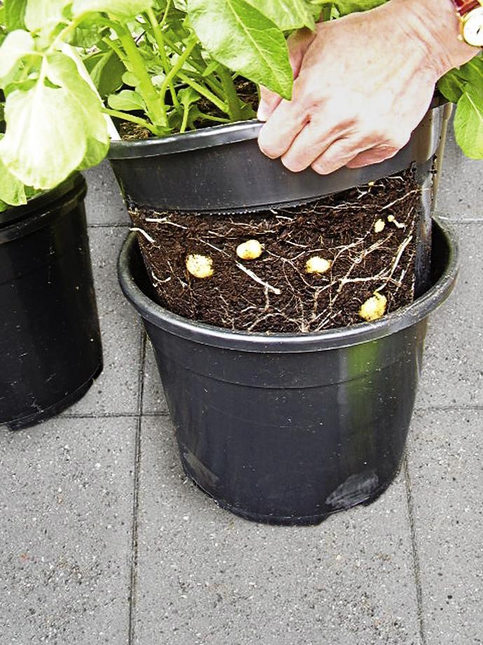 Så här odlar du potatis – på tre olika sätt