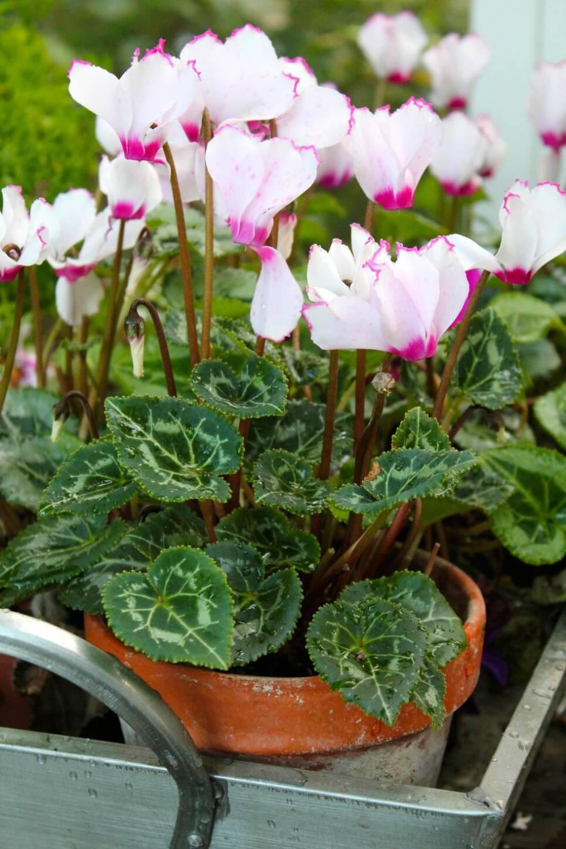 6 blommor för dig som vill ha färg i trädgården även i höst