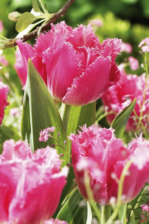 7 nya tulpaner som kommer att lysa upp din trädgård