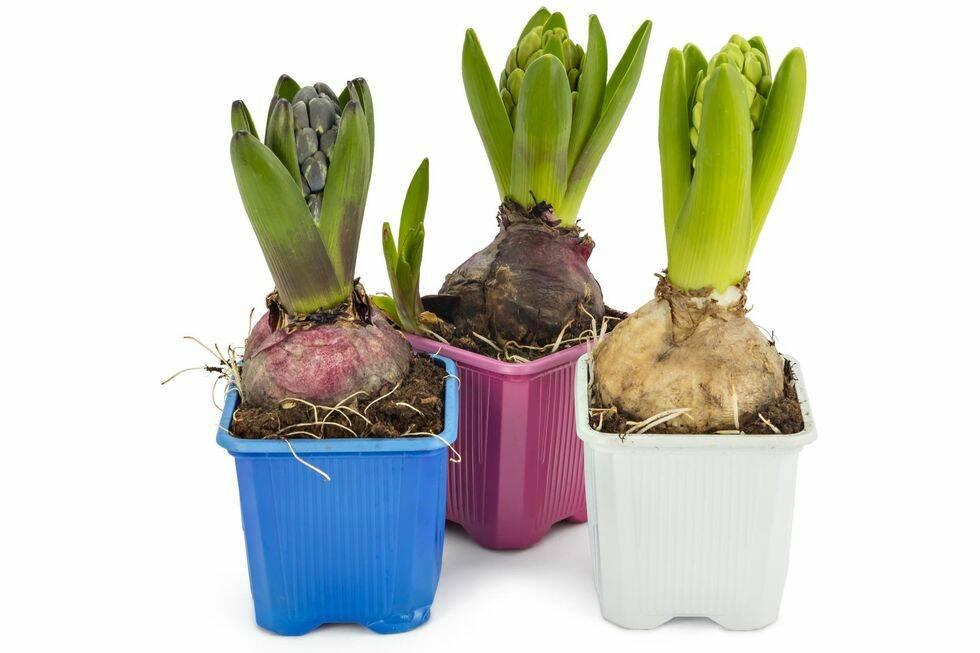 Så här lyckas du med dina hyacinter – 10 kloka råd