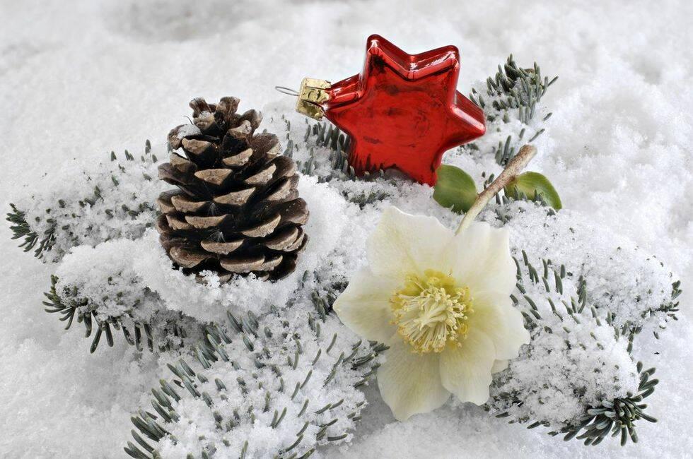 Så här lyckas du med dina julrosor – 8 kloka råd